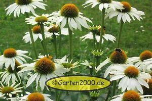 Weisser-Sonnenhut-Echinacea-Rudbeckia-purpurea-Heilpf