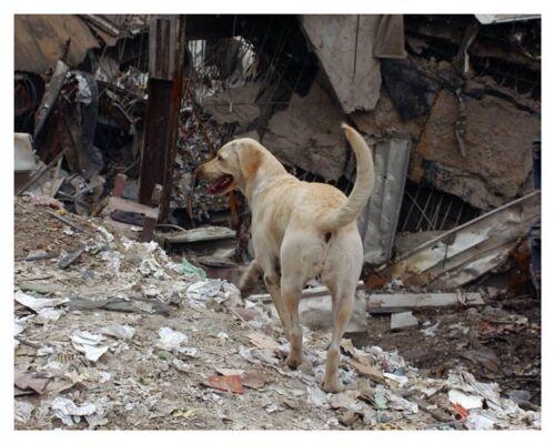 World Trade Center 9//11 Working Rescue Dog Silver Halide Photo Ver 2