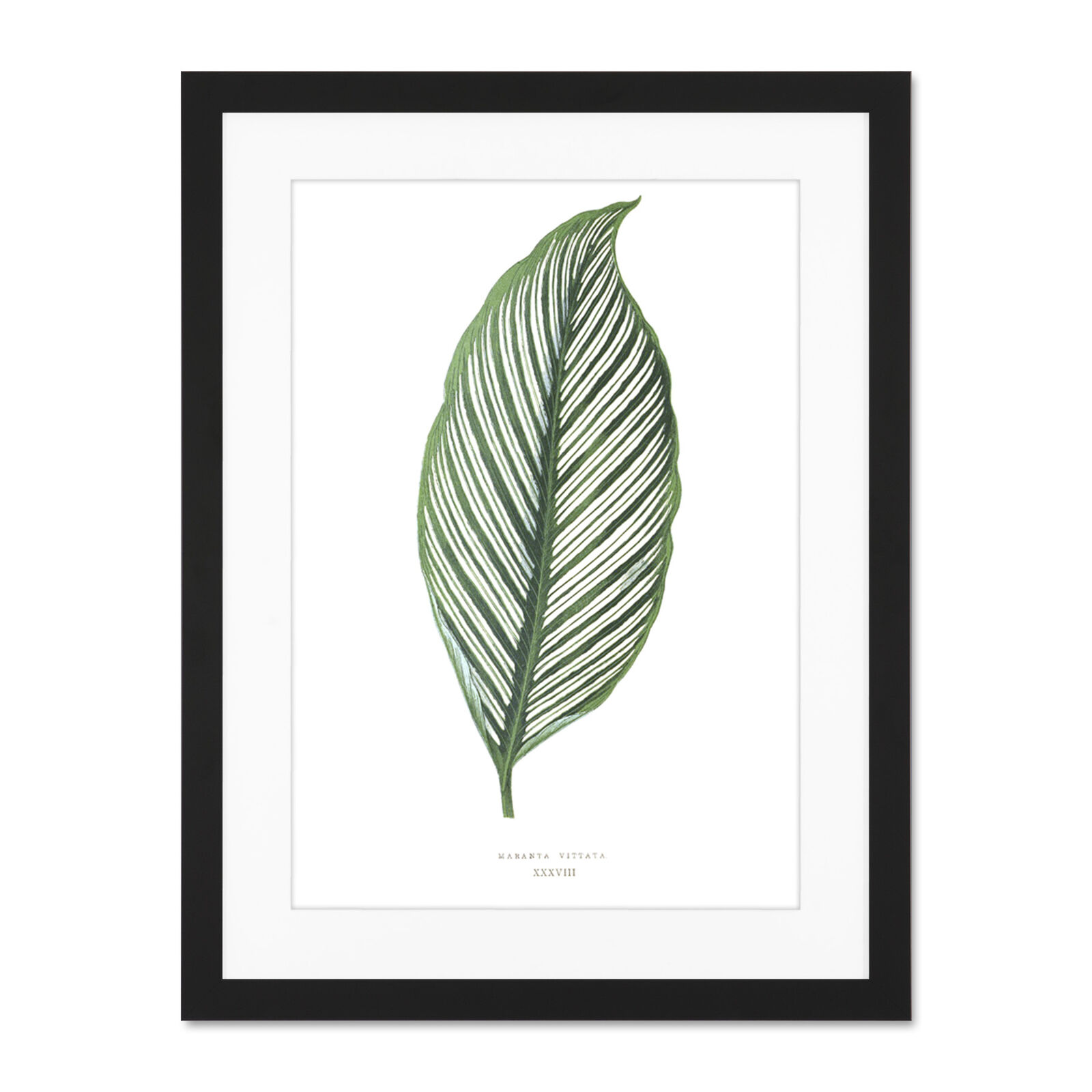 Leaf Maranta Vittata Large Framed Art Print Wall Poster