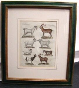 Goats-Aries-amp-Capricorn-Etching-Original-of-039-700-Animal-Science-Zoology
