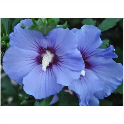 10 seeds Hibiscus Blue Satin .