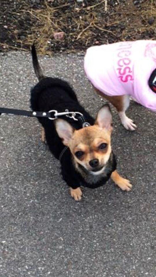 Chihuahua, hund, 4 år