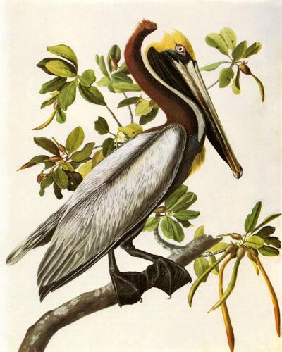 Audubon Brown Pelican Bird American Fine Art USA 16X20 Vintage Poster FREE SH
