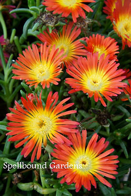 Delosperma Wheels of Wonder™ 'Fire Wonder' Ice Plant  Live Plant