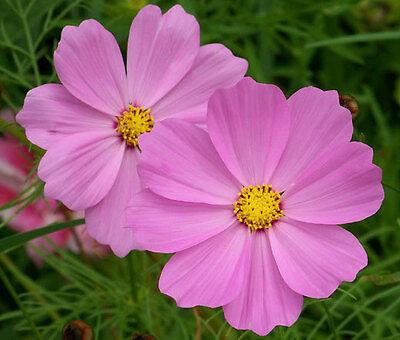 Cosmos Sonata Pink Dwarf Cosmos Bipinnatus 1 000 Bulk Seeds Ebay