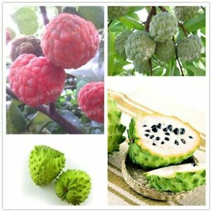 Pictures Of Sugar Apple Trees