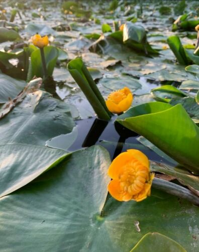 Nuphar Lutea domestic and Winter Hard teichmummel in XXL 3l Pot from breeders
