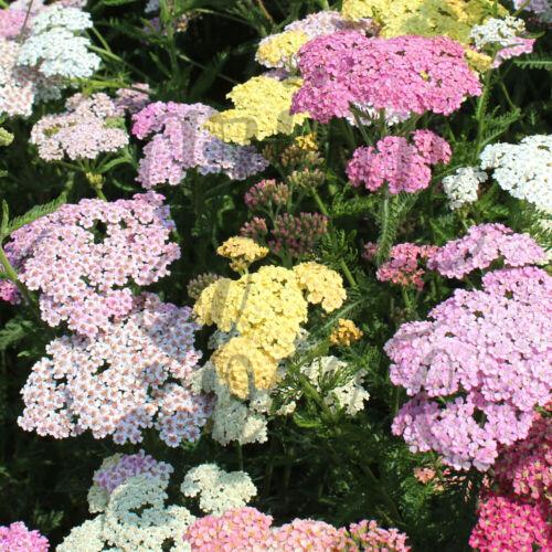graines Achillea Millefolium Seeds abeilles Pâturage Mouton Garbe /'Pastel Mix/' 50