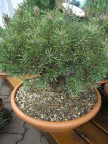 Lettische Waldkiefer 30-40 Pinus sylvestris Lettland
