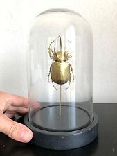 Entomologie  / Cabinet de Curiosités / Globe verre Eupatorus gracilicornis d'Or!
