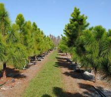 PINUS ELLIOTTII / PINE TREE SHRUB SEEDS