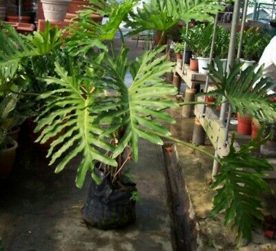 Evergreen Philodendron Tree A Type Of Climber Ideal