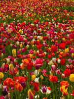 "25 Tulip ""Dwarf Mixed"" Spring Flowering Bulbs"