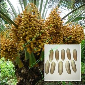 Images Of Date Palm Fruit