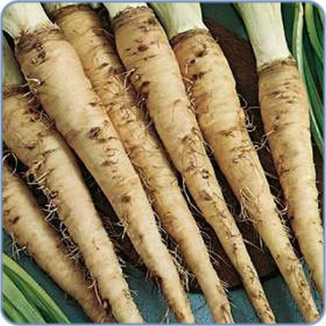 "Salsify  ""Mammoth Sandwich Island"" - Huge ""Oyster Flavored"" Roots! FREE SHIPPING"