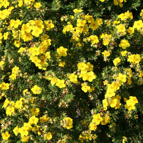 3 X POTENTILLA /'KATHERINE DYKES/' DECIDUOUS SHRUB HARDY GARDEN PLANT IN POT