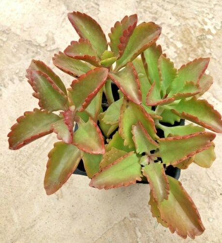 "4/"" Pot Kalanchoe Cluster-Kalanchoe Longiflora"