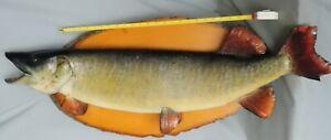 Véritable Monté Brochet Taxidermie Poisson Pêche Trophée Doré Brochet Bass-afficher Le Titre D'origine