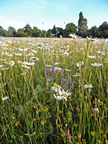 Damp Areas 20g Wetlands Meadow Seed Mix Wild Flower