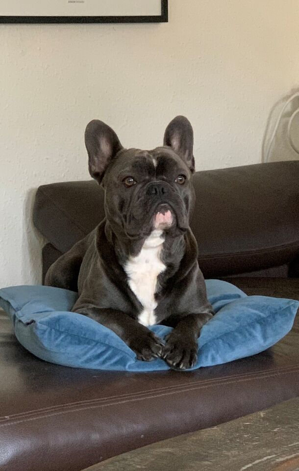 Blue er en lækker fransk bulldog på 16 kg. Han...