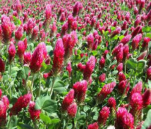 CLOVER-CRIMSON-RED-Trifolium-Incarnatum-50-000-Bulk-Seeds