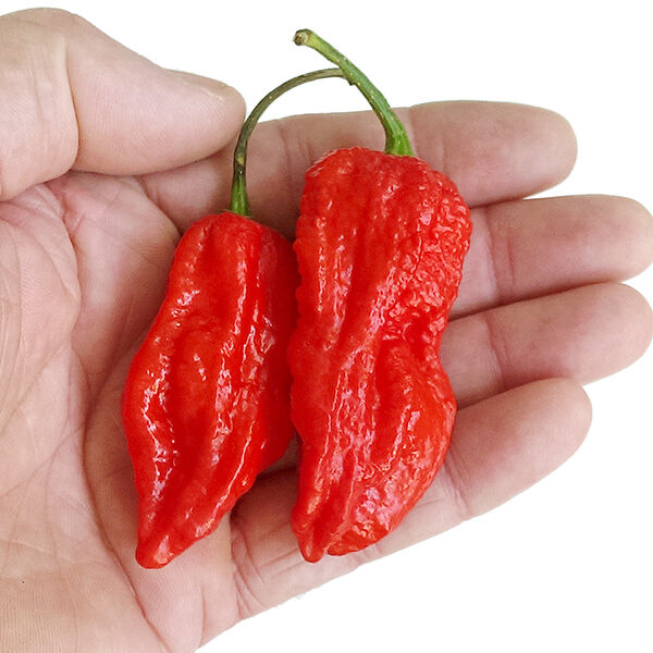 Chilli Seeds - Raja Mirch (King Naga) 10 x Chilli Pepper Seeds