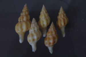 F++ Specimen Collector Seashell Fusolatirus sarinae Snail Shell 29.6mm.-32.7mm Each