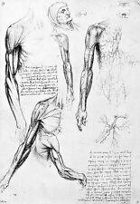 Leonardo Da Vinci Muscles of the Shoulder Region 2  Anatomy Poster Print Art