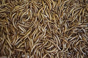 Premium Freeze Dried Mealworms 2lb