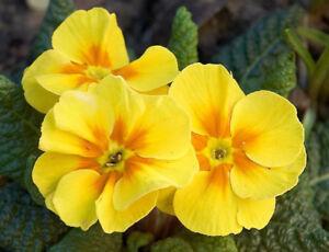 Primrose-Mini-Plug-Plants-x-30-Primula-vulgaris-039-Cabaret-Yellow-039-Perennials