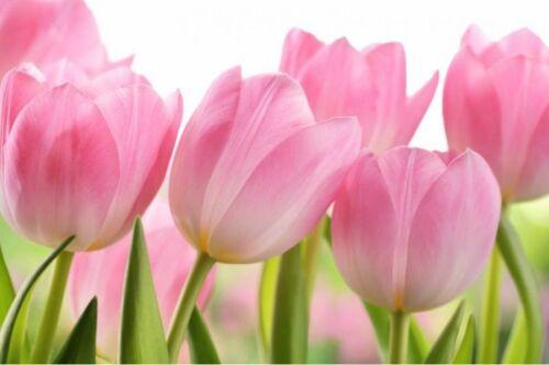 Pink Tulip Bulbs Hardy Perennial Resistant Bonsai Flower Plants Decor Garden Hot