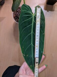Philodendron-Melanochrysum-BIG-rare-aroid-no-monstera-no-philodendron