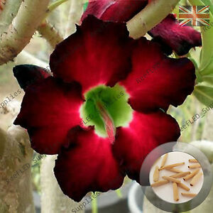 """black Fire"" Adenium Obesum Desert Rose 5 Graines Fraîches Viable, Royaume-uni Supply-afficher Le Titre D'origine"