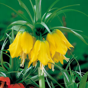 Fritillaria Hardy Spring Flowering Bulbs Crown Imperials With Yellow