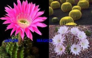 Cactus y Plantas Crasas ( 200 semillas ) seeds - variado mezcla