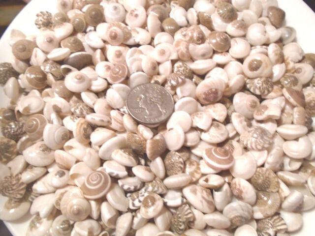 75 Umbonium Seashells Mix Crafts Shells Scrapbook Umbodium Sailors