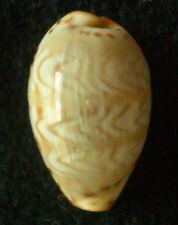seashell Cypraea ziczac 15-18mm F+++