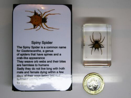 Real spiny spider in crystal clear resin with information card on gift box