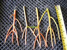 4 Euphorbia Tirucalli 'Sticks on Fire'  Succulent Cuttings
