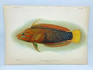 Antique-Lithographic-Print-Reef-Fishes-Hawaiian-Islands-Bien-1903-Plate-27
