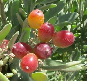 Nitre-Bush-Native-Grape-Evergreen-Shrub-Seed-Drought-Frost-Tolerant-Bush-Tucker