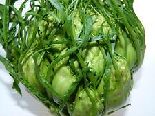 150 Cicoria di GALATINA precoce SEMI seeds sementi orto chicory vegetable
