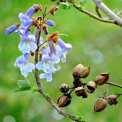 Paulownia Tomentosa Agm Foxglove Flowering Tree Fragrant Specimen