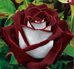 25x RARE multi-couleurs blanc et rouge rose Graines Plante de jardin Vendeur Britannique  </span>