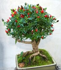 Rare Bonsai African Bird's Eye Chilli 75 Fresh Seeds,Lowest Price Ever
