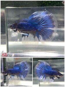 Betta Live Fish - Male Halfmoon Blue White - Buy One Get One Free Random - K5