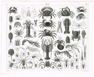 ORIGINAL-ANTIQUE-PRINT-VINTAGE-1851-ENGRAVING-MARINE-LIFE-LOBSTER-CRAB-SHRIMP
