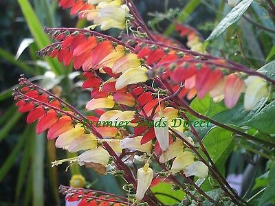 FLOWER MINA LOBATA JUNGLE QUEEN 30 FINEST SEEDS