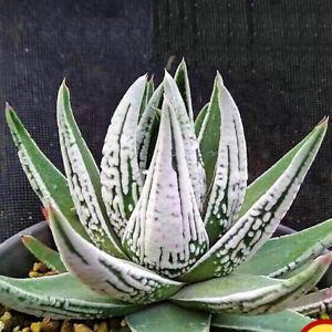 1-Cut 6cm Haworthia Diamond Truncata Succulent live Plant Home Garden Flower pot