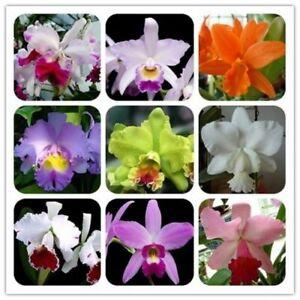 30Pcs-Orchids-Cattleya-Flower-Seeds-Rare-8-Kind-Biennial-Plant-For-For-Garden